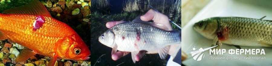 Аэромоноз у рыб лечение