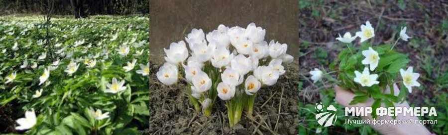 Белые подснежники выращивание дома