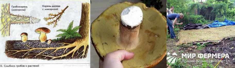 Выращивание белых грибов из спор