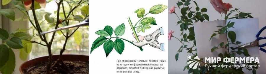 Обрезка комнатных роз
