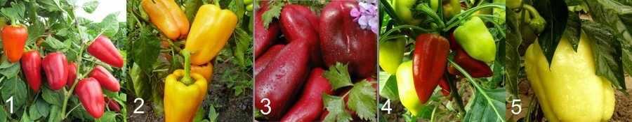 Ранние сорта болгарского перца
