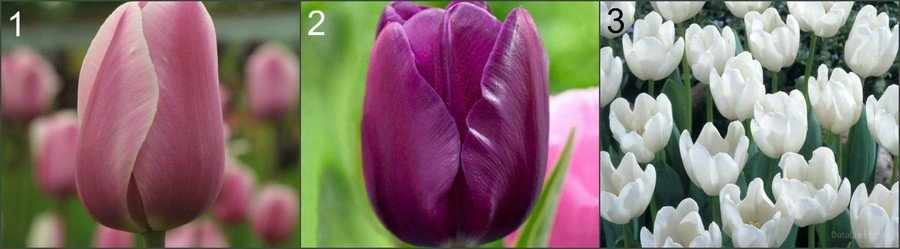 Тюльпаны для выгонки к маю