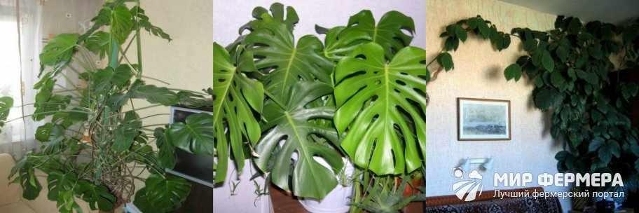 Пальмовые и вьющиеся комнатные растения