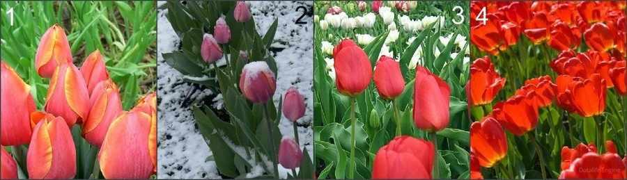 Тюльпаны для выгонки к апрелю