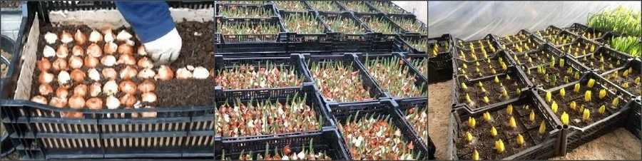 Выгонка тюльпанов: посадка луковиц