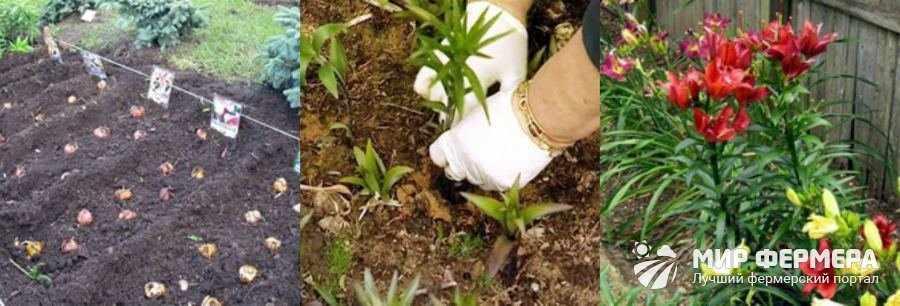 Выращивание лилий в открытом грунте