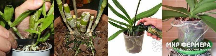 Орхидея Дендробиум уход