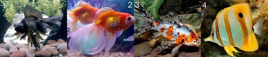Золотые аквариумные рыбки