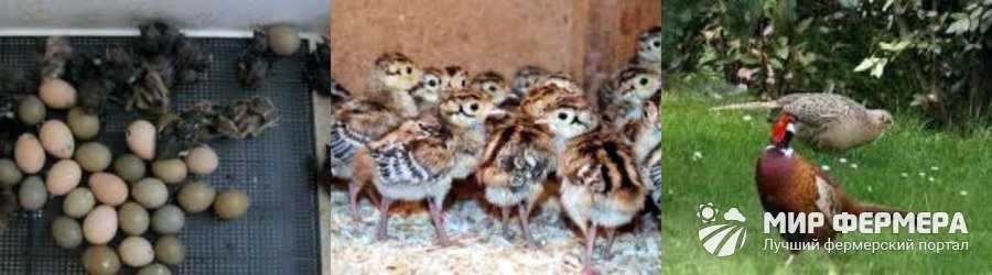 Разведение фазанов дома