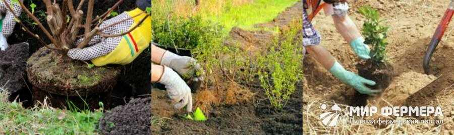 Как посадить декоративный кустарник