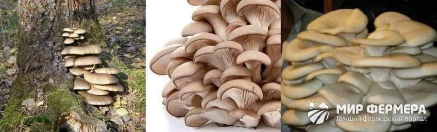 Как выглядит устричный гриб
