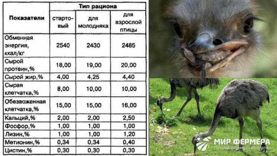 Особенности кормления страусов