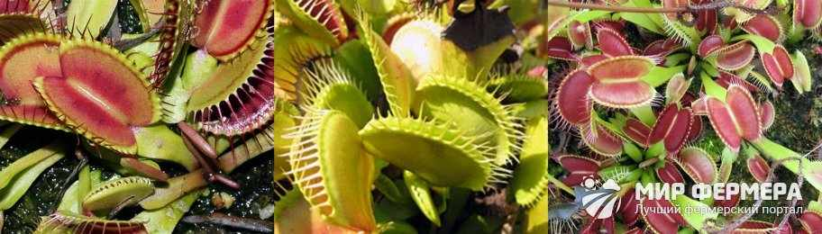 Венерина мухоловка фото