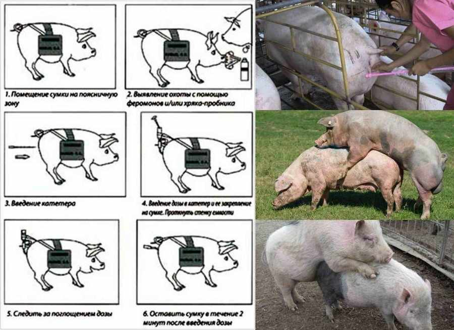 Случка у свиней