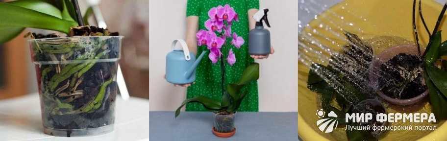 Как поливать орхидею, чтобы она цвела