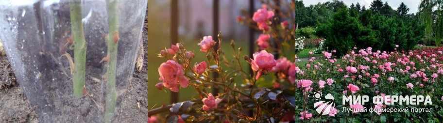 Плюсі осенней посадки роз