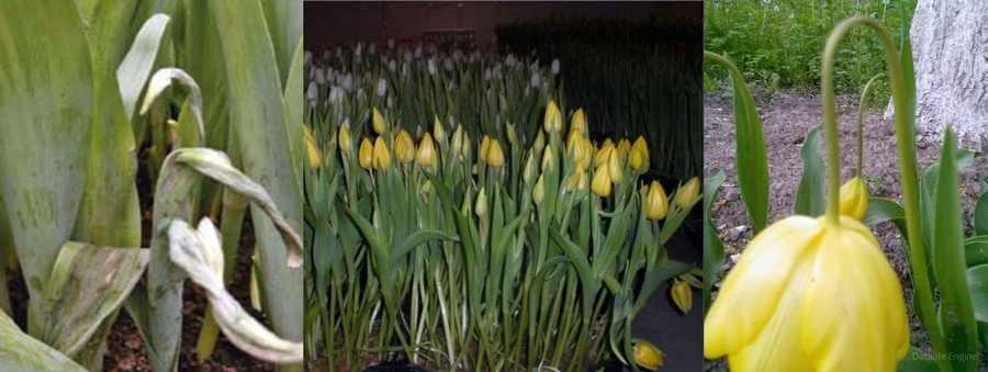 Поникание цветоноса тюльпанов