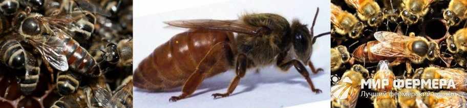 Сколько живет пчелиная матка