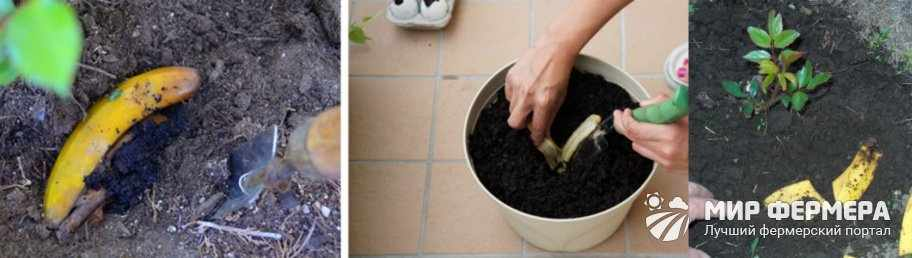 Подкормка свежей кожурой бананов