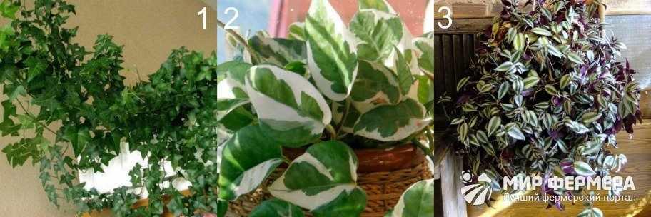 Вьющиеся теневыносливые растения