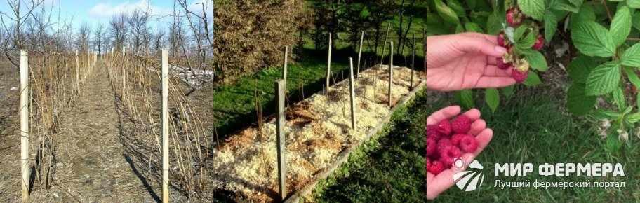 Уход за садовой малиной