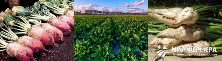 Урожайность сахарной свеклы
