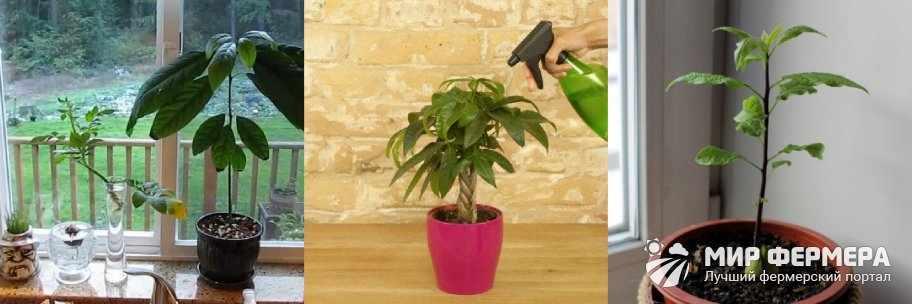 Как поливать авокадо