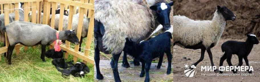Романовские овцы разведение