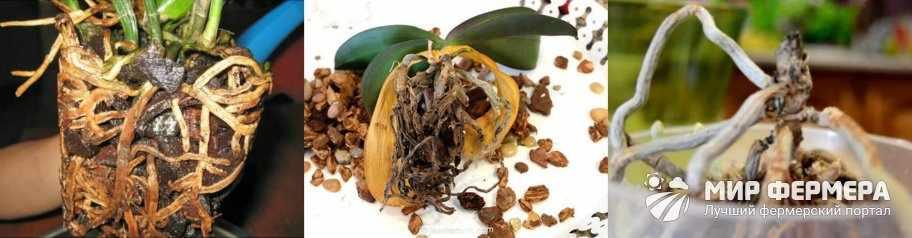 Гниют корни орхидеи что делать