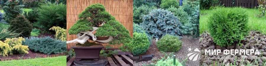 Карликовые хвойные деревья названия и фото