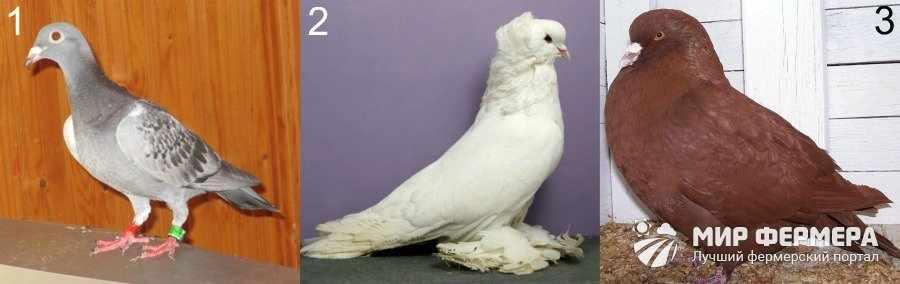 Породы голубей для домашнего разведения