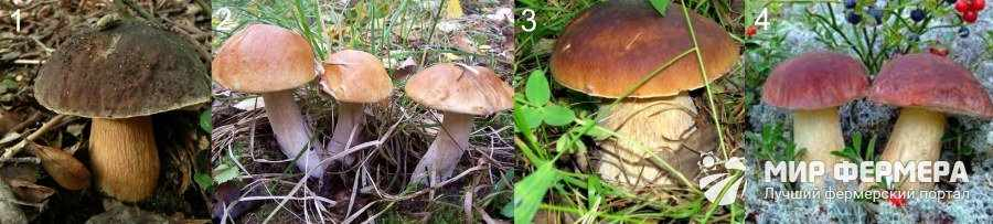 Белый гриб виды и описание