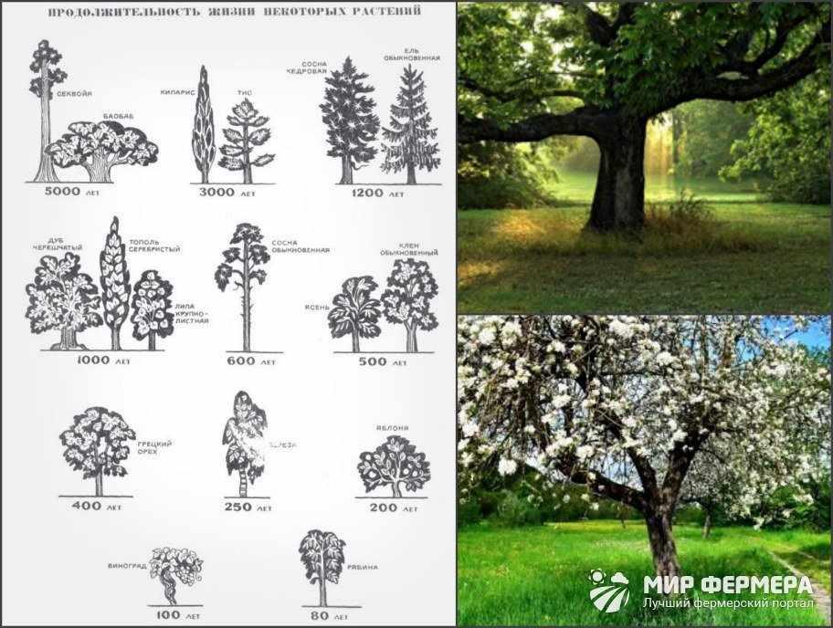 Сколько живут деревья