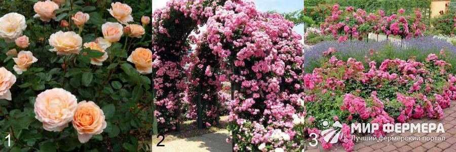 Сорта декоративных роз