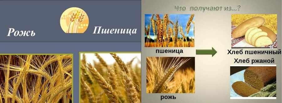 Особенности ржи в сравнении с пшеницей