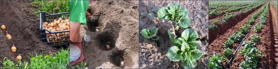 Выращивание картофеля в открытом грунте