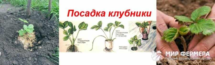 Как посадить клубнику на даче