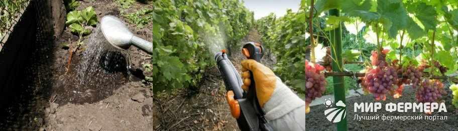 Полив и подкормка винограда Анюта