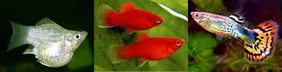 Живородящие аквариумные рыбки