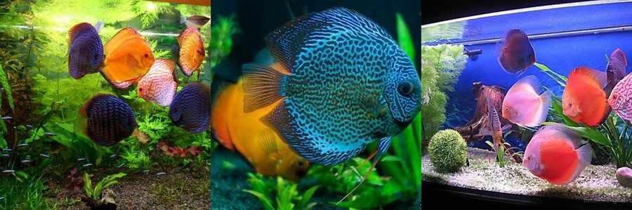 Рыба дискус фото