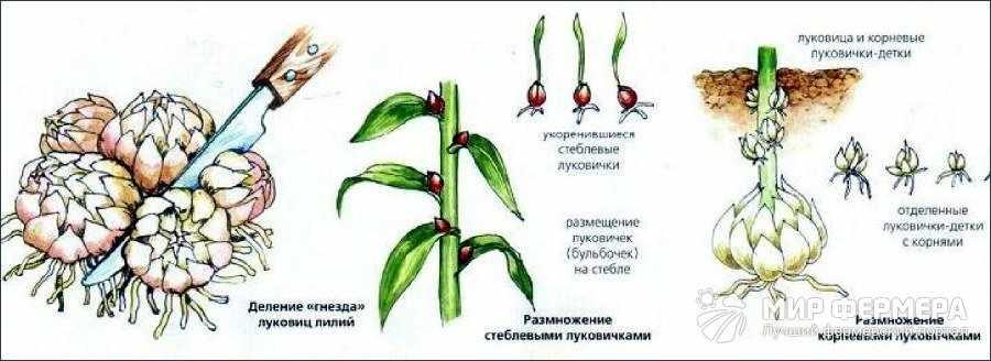 Размножение лилий луковицами