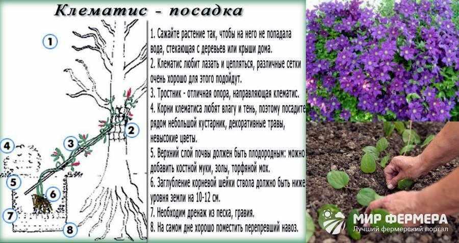 Как посадить клематисы