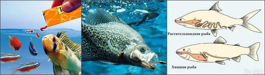 Кормление плотоядных рыб