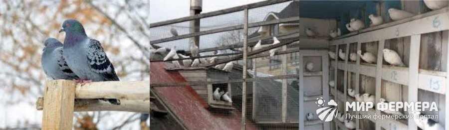 Содержание голубей зимой