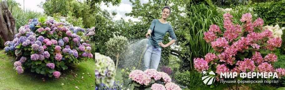 Как поливать гортензию