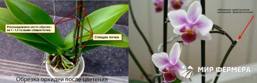 Фаленопсис после цветения