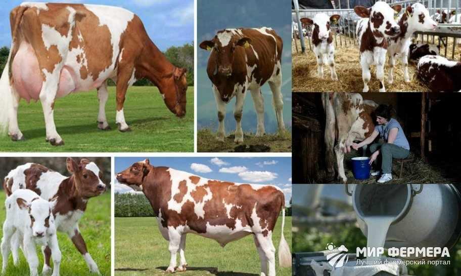 Продуктивность айрширских коров