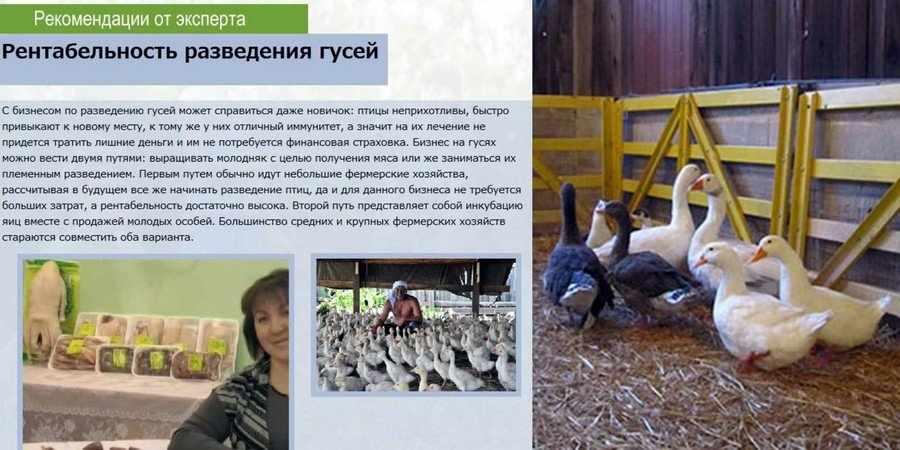 Бизнес-план гусиной фермы