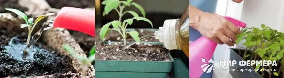 Корневая подкормка рассады томатов