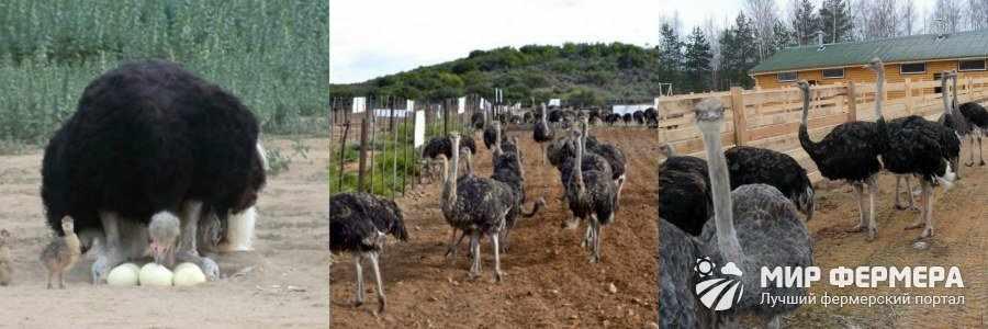 Африканские страусы содержание и уход